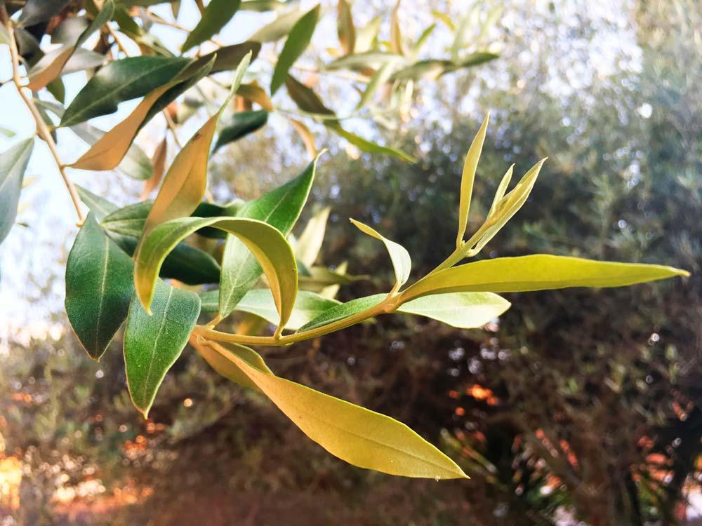 aceite-oliva-oro-liquido